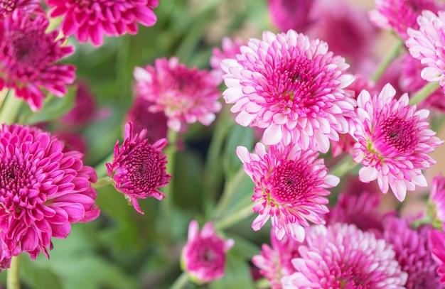 Crisântemo de flores coloridas
