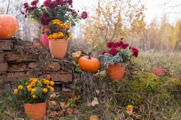 Crisântemo em vasos de flores e abóboras laranja nos jardins de outono perto da parede de tijolos antigos