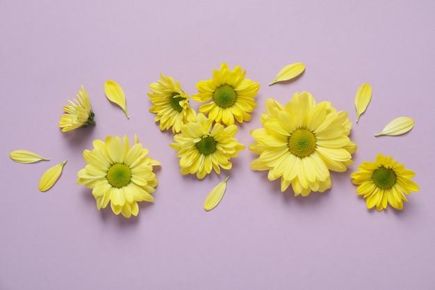 Crisântemos amarelos em fundo violeta, vista superior.