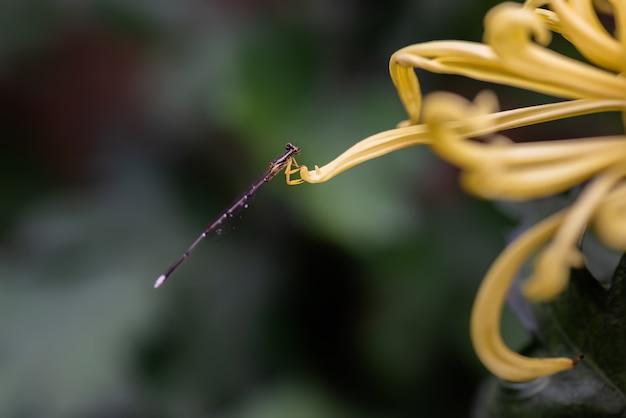 Crisântemos amarelos estão na natureza