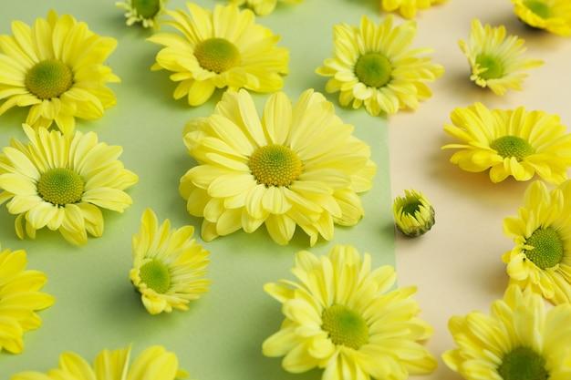 Crisântemos amarelos sobre fundo de dois tons, close-up.