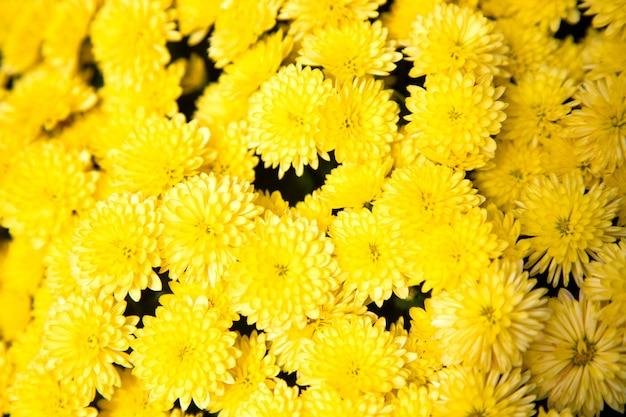 Crisântemos de arbusto amarelo bonito em um dia ensolarado.
