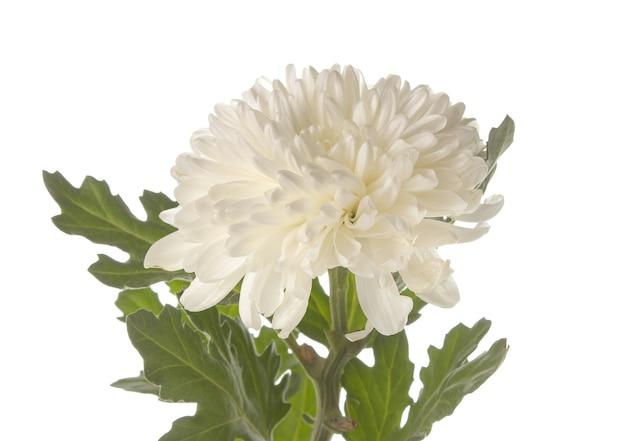 Crisântemos em fundo branco isolado. flores de outono