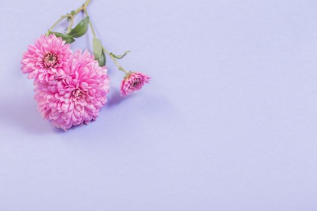 Crisântemos em papel violeta