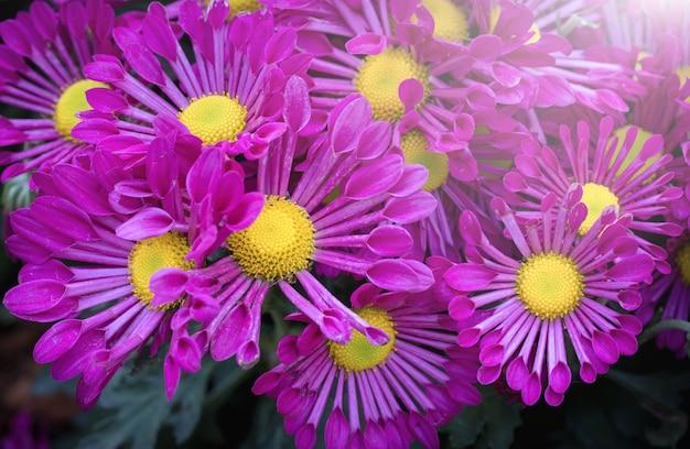Crisântemos roxos flor com luz do sol no jardim
