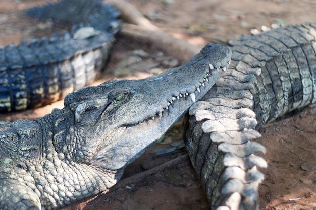 Crocodilo acordando com a família no zoológico