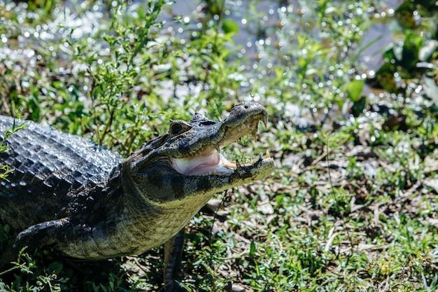 Crocodilo americano com a boca aberta cercada por vegetação sob o sol