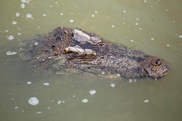 Crocodilo asiático no rio