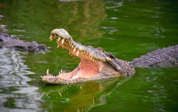 Crocodilo com mandíbulas abertas. perfil, de, um, crocodilo, em, um, lagoa, com, verde, água