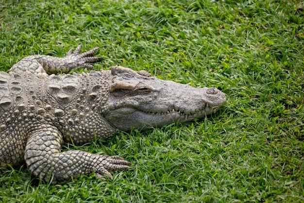 Crocodilo da ásia no rio