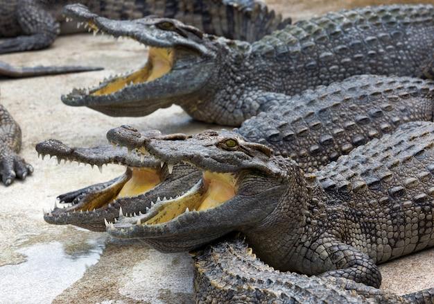 Crocodilo de água doce abriu a boca na fazenda
