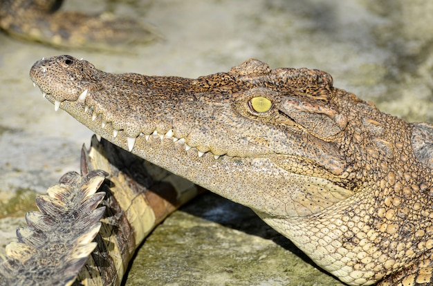 Crocodilo de água doce, crocodilo siamês (crocodylus siamensis)