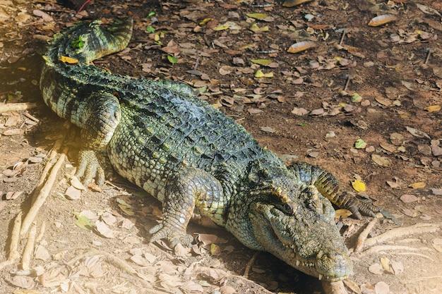 Crocodilo de água doce, crocodilo siamese, crocodilo que descansa na exploração agrícola do crocodilo.