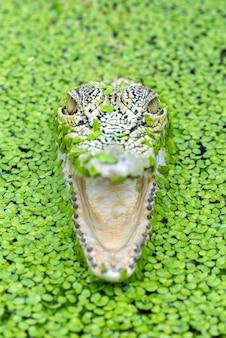 Crocodilo de água salgada em um lago cheio de algas