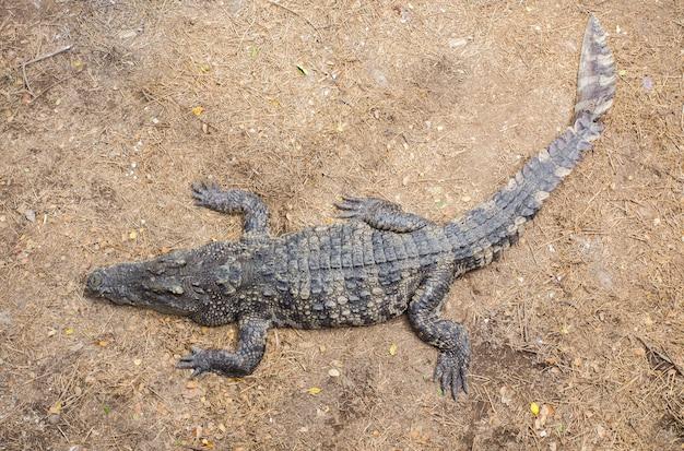 Crocodilo deitado no chão
