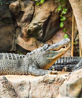 Crocodilo deitado no zoológico