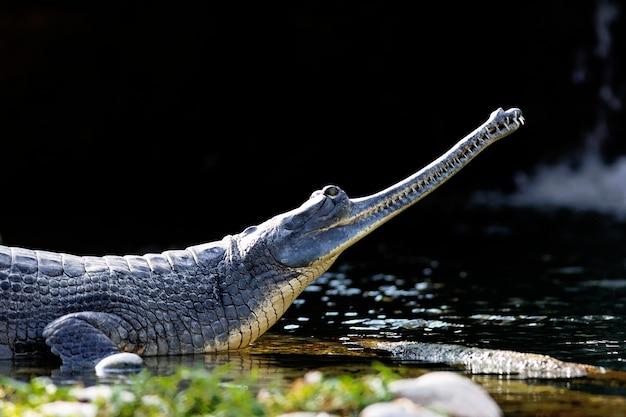 Crocodilo descansando ao lado de um lago