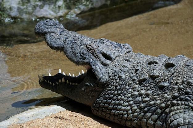 Crocodilo do nilo (crocodylus niloticus) no bioparc fuengirola