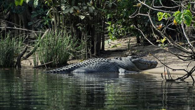 Crocodilo do rio, banhos de sol na margem
