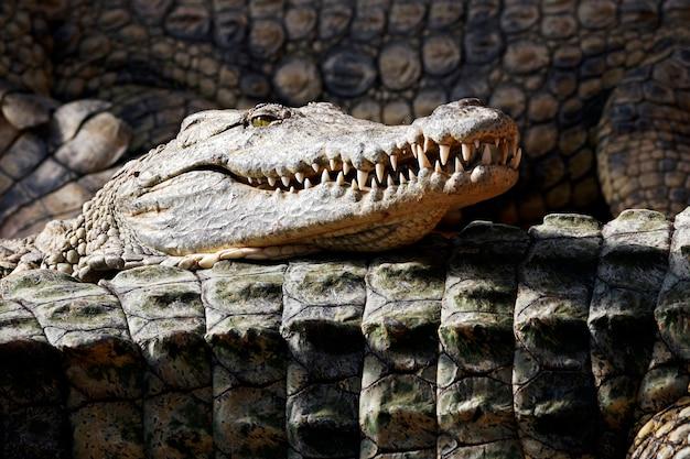 Crocodilo dormindo com a cabeça acima de outros crocodilos sob o sol