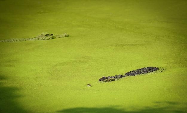 Crocodilo flutuando no rio de água e esperando a presa crocodilo de água doce grande na fazenda