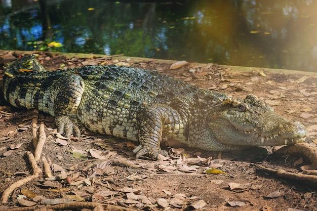 Crocodilo freshwater, siamese, crocodilo, crocodilo, descansar, em, crocodilo, fazenda
