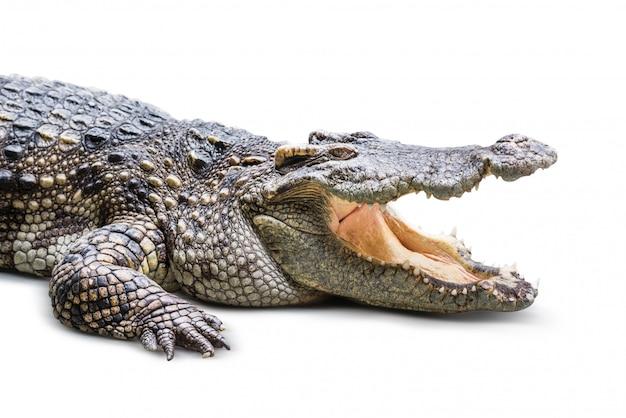 Crocodilo isolado