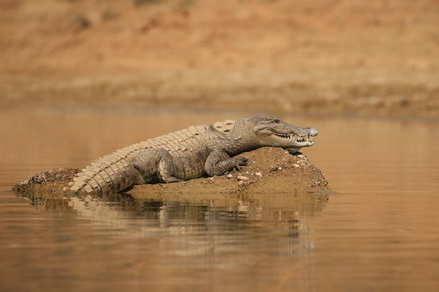 Crocodilo ladrão no rio