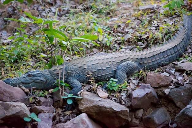 Crocodilo-ladrão