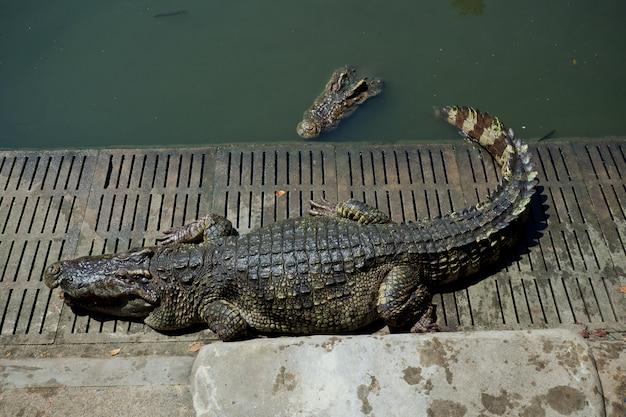 Crocodilo na água, jacaré, animal perigoso