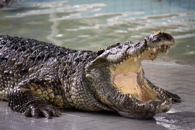 Crocodilo na água, na fazenda de crocodilo pattaya e zoológico, tailândia