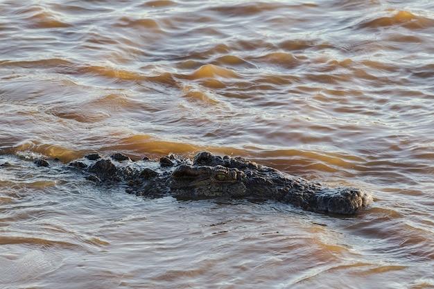 Crocodilo na água o rio mara no quênia áfrica