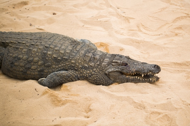Crocodilo na areia clara
