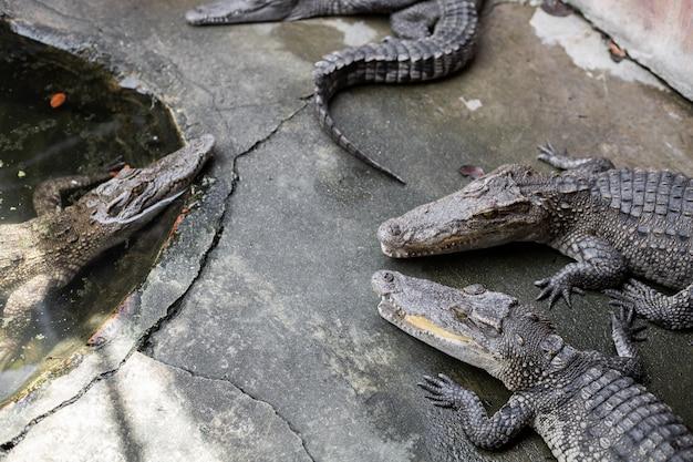 Crocodilo na fazenda.