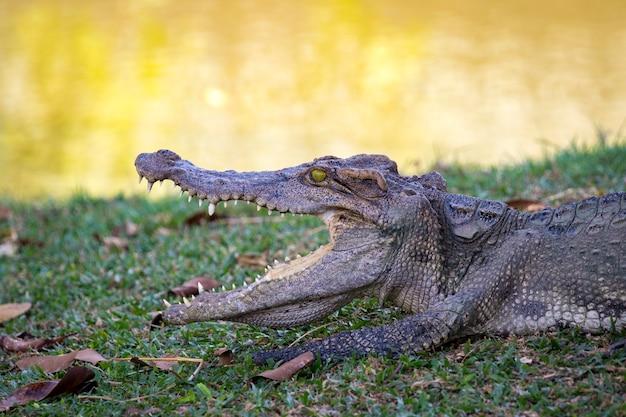 Crocodilo na grama. réptil.