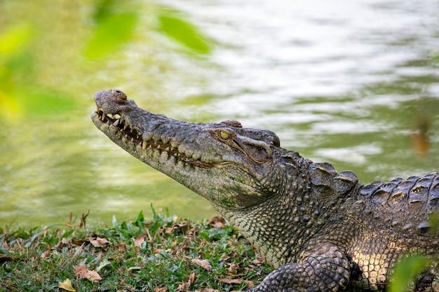 Crocodilo na grama