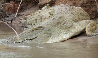 Crocodilo na selva