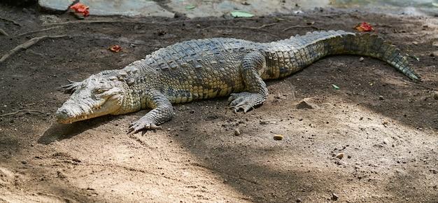 Crocodilo no méxico riviera maya