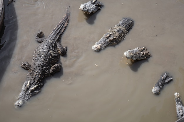Crocodilo no pântano.