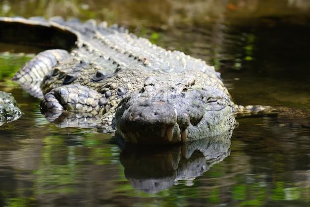 Crocodilo no parque nacional do quênia, áfrica