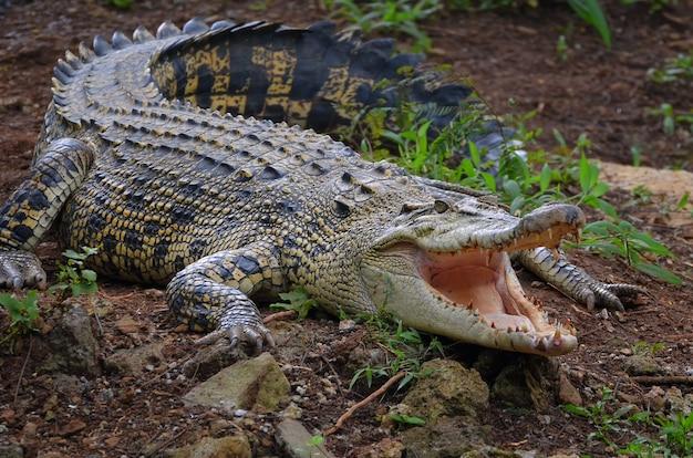 Crocodilo salwater no pântano