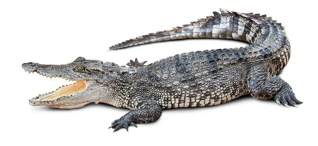 Crocodilo selvagem em branco com traçado de recorte