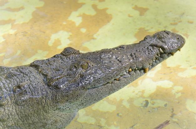 Crocodilo selvagem no rio.