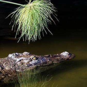 Crocodilo solitário com a cabeça acima da água procurando comida