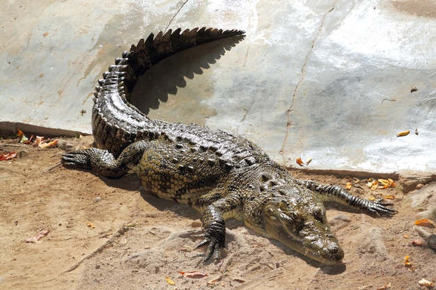 Crocodilos com banho de sol na américa do sul