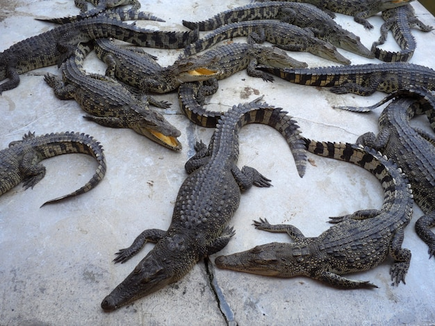 Crocodilos fechem na tailândia