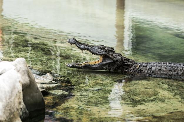Crocodilos jovens estão abrindo a boca na água.