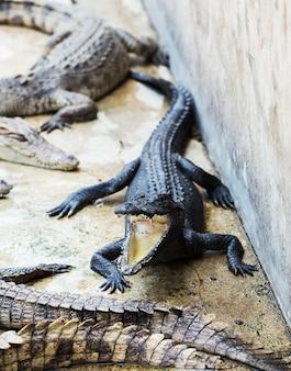 Crocodilos pequenos na fazenda de crocodilos