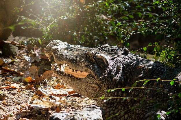 Crocodilos se aquecem ao sol como zoológico