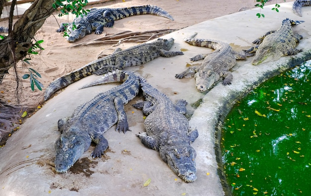 Crocodilos selvagens na margem do rio